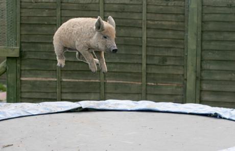 cerdo saltando en una cama elástica